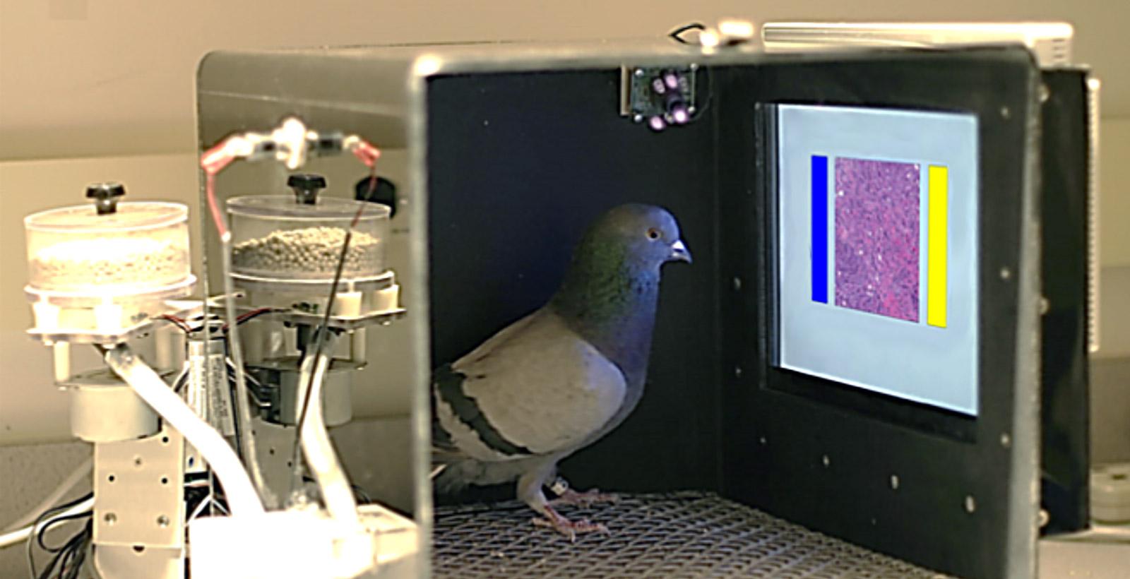 La boîte de Skinner, équipée d'un distributeur de nourriture et d'un écran tactile affichant une image médicale.